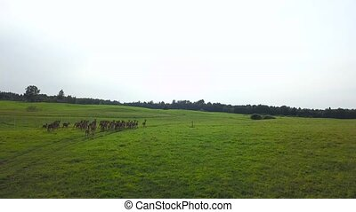Deer frolic on a meadow on the background of the cloudless...