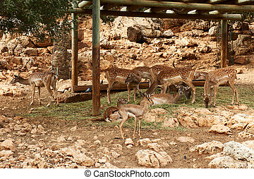 Deer graze in the Biblical Zoo in Jerusalem. Israel