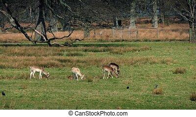 Deer Grazing In Summer
