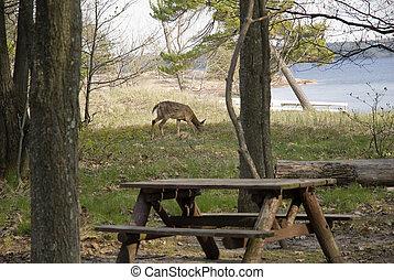 deer grazing in the evening