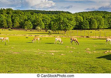 deer herd grazing in the green field, Transcarpathia