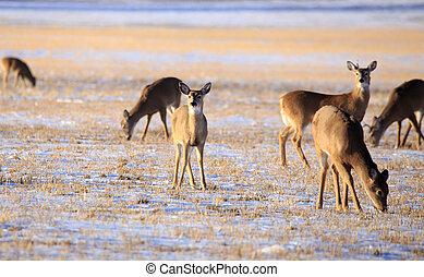 Deer herd in Field.