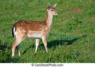 Deer in a Grass