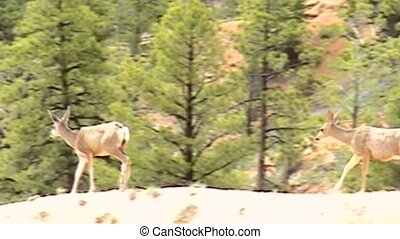 Deer in Bryce Canyon