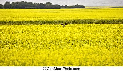 Deer in Canola Field