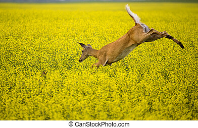 Deer in Canola Field