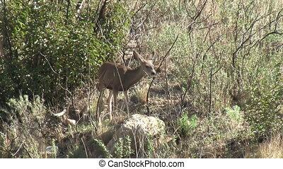 Deer In Chaparral - Deer in chaparral.