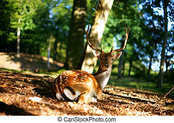 Beautiful deer resting in a clearing in the forest