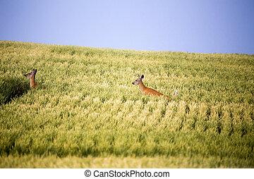 Deer in Farmers Field