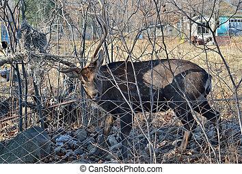 Deer in net 5