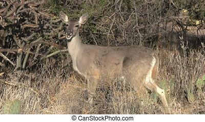 Deer In Sonoran Desert