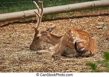 deer in the farm