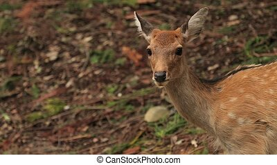 Deer in the woods - Deer in a forest, parallax camera motion