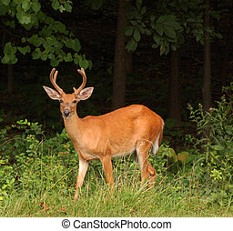 Deer in the woods, looking at the camera