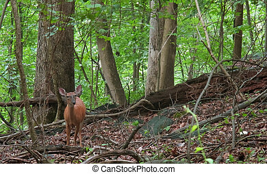 Deer In The Woods - A young deer in the woods at Patapsco...