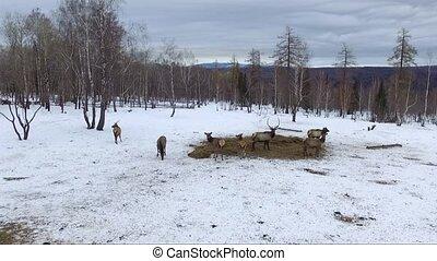 deer in winter, aerial shot