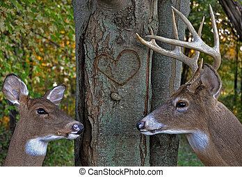 Buck and a doe in autumn woods with carved heart on tree trunk.