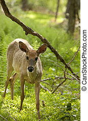 Deer in woods discovers an observer