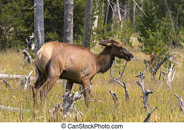 deer in Yellowstone National Park
