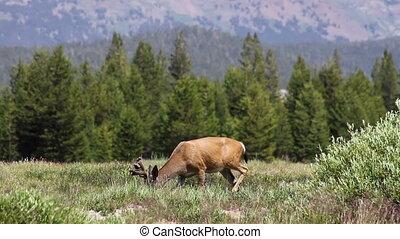 Deer in Yosemite 3
