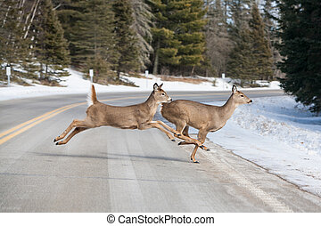 Deer Jumping - Deer jumping across the road near Itasca ...