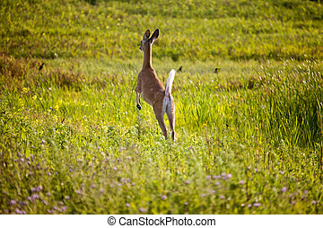Deer jumping in Field