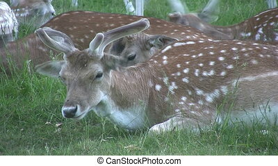 Deer laying down eating grass