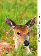 deer laying down in green grass meadow - deer laying down in...