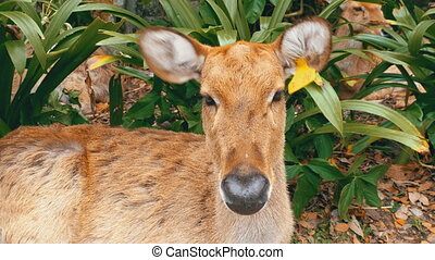 Deer lying in the bushes at the Khao Kheow Open Zoo....
