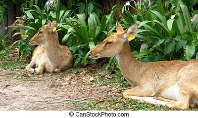 Deer lying in the bushes at the Khao Kheow. Thailand - Three...
