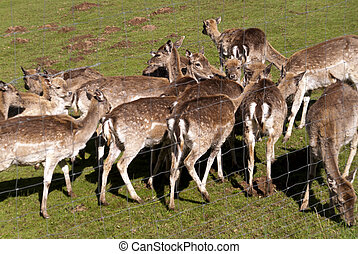 Deer on a Meadow