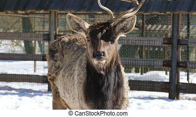 Deer on the farm in winter - Sika deer with one horn stands...