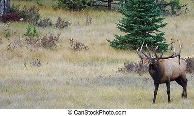 Deer grazing on the lawnn, Jasper, Canada