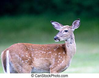 Deer on the Lawn