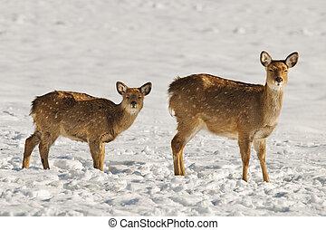 deer - female deer with her fawn
