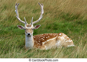 Reindeer Sitting Down At Rest In Long Grass
