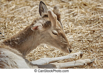 Deer Rests on the Ground