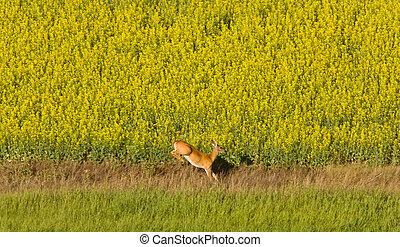Deer running in canola mustard field