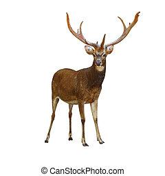Deer Rusa. - Deer Rusa male on white.