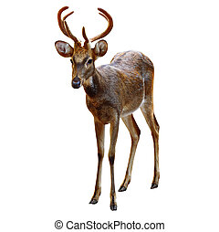 Deer Rusa. - Deer Rusa male on white.