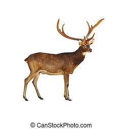 Deer Rusa.