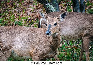 Deer seen along Skyline Drive, in Shenandoah National Park, Virginia.
