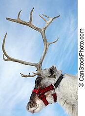 Deer - Side view of a muzzle of reindeer