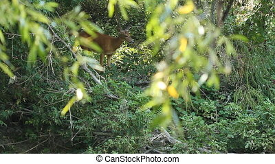 View through trees of female white-tailed deer in the forest. Don Valley, Toronto, Ontario.