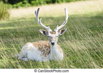 Deer sitting on grass.