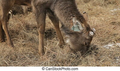 Deer snack - Close-up of a cute farm deer chewing straw on a...