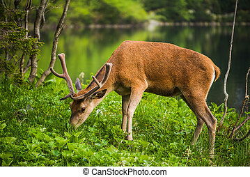 Deer stag at the lake in mountains