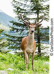 Deer stag looking at camera, lake in background