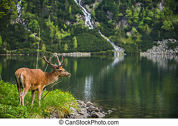 deer stag looking while on the egde of apline lake
