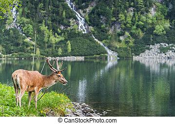 deer stag over alpine pond in Poland